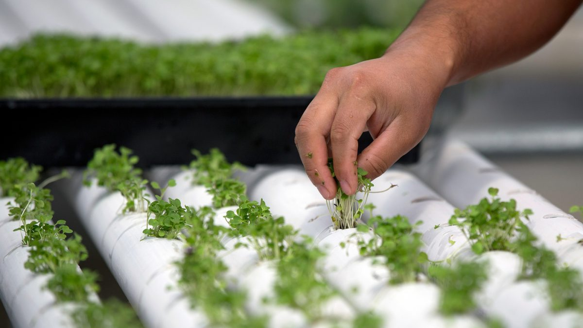 "Baby basil is planted in PVC piping through which nutrient-infused water flows at regular intervals at a hydroponics farm in Nevada. This week, the National Organic Standards Board is set to vote on whether foods grown hydroponically can be sold as ""certified organic."""