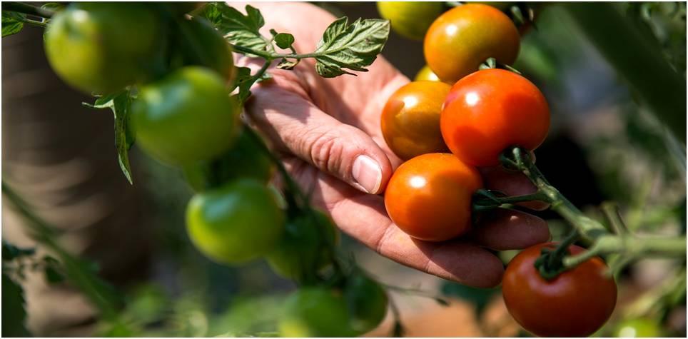 Tomates-Minería-Cosecha-Criptomonedas