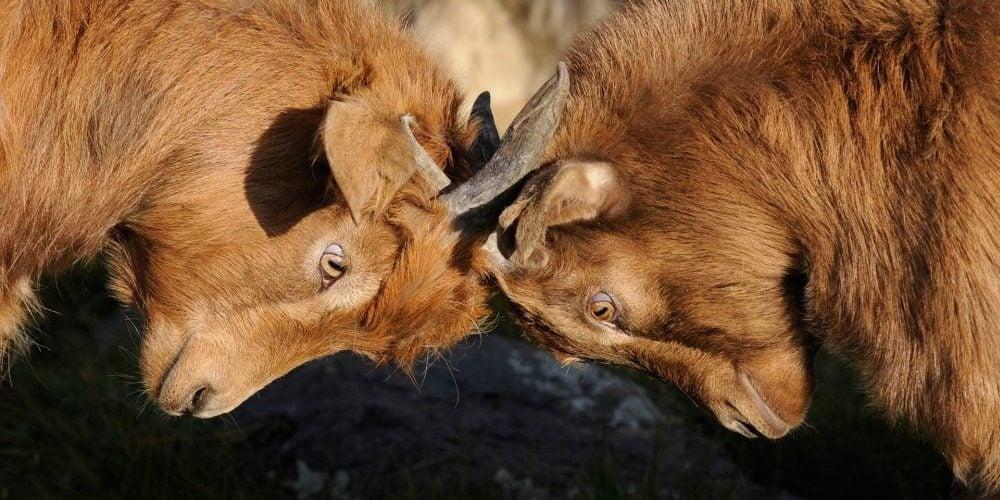Dos cabras enfrentadas. Fuente: Pixabay/ Pexels.com